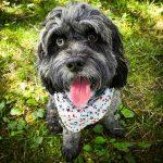 Black fluffy dog wearing a bandana